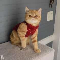 Sir Pumpkin is growing so fast he'll be too big to fit in Eggs' Christmas sweaters in December so.... Why not!? Hashtag Arbitrary National Sweaters in Summer Day  #exoticshorthair #cat #cute #instacat #flatface  #cats #catsagram  #animallovers #kitten #meow #pet #mreggs #catlover #petsagram #catstagram #exoticsofinstagram #smushface #katze #sirpumpkin