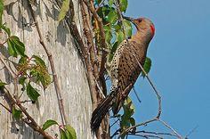10 seltsame und wunderbare Fragen Über Woodpeckers - http://bestelisten.com/10-seltsame-und-wunderbare-fragen-uber-woodpeckers/