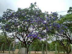 Jacarandá Mimoso - Lagoa do Taquaral