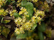 Pappea Capensis               Bushveld Cherry/Jacket Plum            Doppruim           8-13 m        S A no 433