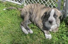 Tilly is an adoptable Catahoula Leopard Dog Dog in Harrodsburg, KY. Tilly here and as you can see I just like to hang out with you. I am a very pretty fawn and black brindle color with hazel eyes.   Hopper's Halfway Home  738 Old Dixville Rd  Harrodsburg, KY 40330    Phone: 859-325-6207  Email: pattycakes738@yahoo.com