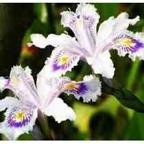 40 Sementes Mix Iris Orquídeas Aquática Flores Bonsai Gramas