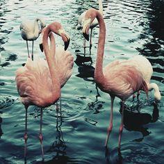 some flamingos