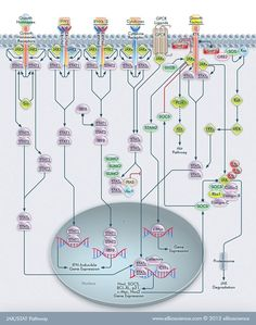 Explore the JAK/STAT signaling pathway and find antibodies to detect some of its target proteins, including IFN alpha, BIFN beta, IFN alpha receptor and IFN gamma. Cell Biology, Molecular Biology, Science Biology, Life Science, Signal Transduction, Thermo Fisher, Science Tools, Medical Laboratory Science, Thyroid Health