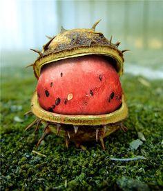 http://zipmanipulation.wordpress.com/  #hybrid #fruit #watermelon #nut