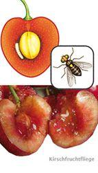 Kirschfruchtfliege bekämpfen - so wird man sie los