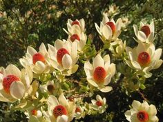leucadendron flame tip - Google Search