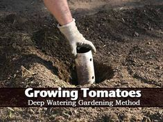 How To: Growing Tomatoes Using A Deep Watering Gardening Method