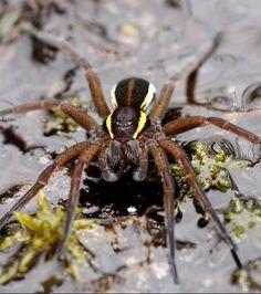 L'Araignée Dolomède des marais s'immergent dans l'eau sans se noyer. Elle se nourrit d'insectes aquatiques.