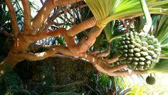 Spiral Palm, Miami Florida Florida Plants, Miami Florida, Spiral, Palm, Fruit, Hand Prints