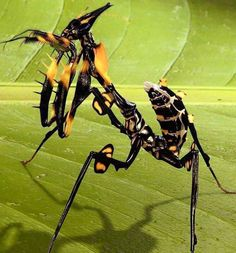 """Giant Devil Flower Mantis (idolomantis diabolica) ~ Mik's Pics """"Arachnids and Insects l"""" board Weird Insects, Cool Insects, Bugs And Insects, Beautiful Creatures, Animals Beautiful, Cool Bugs, A Bug's Life, Beautiful Bugs, Praying Mantis"""