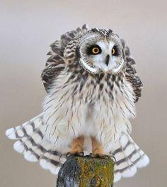 Owl #Owl #BirdsofPrey #BirdofPrey #Bird of Prey