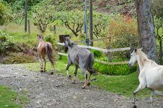 A few wild horses in San Gerardo de Dota