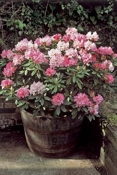 rhododendron potted - Google Search