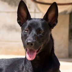 Want to adopt from Soi Dog and live in New York, Boston, Washington or Philadelphia? We have spots on flights available for September, October and November for dogs flying to New York. Costs start at only $427 USD for an average sized dog (departing Bangkok) and $580 USD (departing Phuket.) Please click on the link below to see dogs currently being promoted for adoption from Phuket: http://www.soidog.org/en/adoptions/ Contact cristy@soidog.org for more details about adopting to New York…