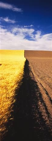 Half Harvested Wheat Field - The Palouse, Eastern Washington