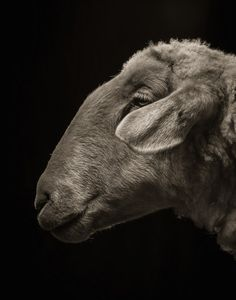 http://www.fubiz.net/en/2014/11/29/farm-animals-dramatic-portraits/
