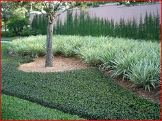 asian jasmine | Plant Guide / Groundcovers / Asiatic Jasmine