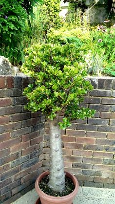 My 30 year old standard Crassula Ovata grown in the United Kingdom. Jade Bonsai, Succulent Bonsai, Bonsai Plants, Growing Succulents, Growing Plants, Planting Succulents, Outdoor Plants, Outdoor Gardens, Suculent Plants