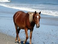 Corolla Wild Horses on the Outer Banks of NC. www.VROBX.com