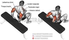 Bent-knee bench dip. A beginner compound bodyweight exercise. Target muscle: Triceps Brachii. Synergists: Anterior Deltoid, Upper and Lower Pectoralis Major, Pectoralis Minor, Rhomboids, Levator Scapulae, and Latissimus Dorsi. Dynamic stabilizer (not highlighted): Biceps Brachii.