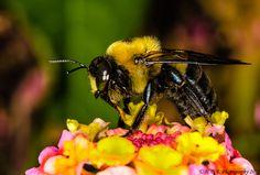 Carpenter Bee by Harold Begun, via 500px
