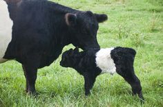 Oreo cows!  I have been in love with Belted Galloways since before Dustin and I met... he knows we must have some.