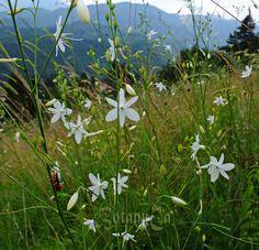 Anthericum ramosum frö Garden Plants, Gardening, Lawn And Garden, Urban Homesteading, Horticulture