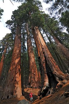 sequoiadendron giganteum - Google Search