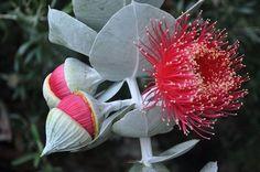 Eucalyptus macrocarpa Australian Wildflowers, Australian Flowers, Australian Plants, Native Tattoos, Australian Native Garden, Native Australians, Exotic Plants, Native Plants, Wild Flowers