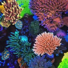 No doubt @worldwidecorals knows how to keep corals! They do so with #polyplab reef-roids! Ask Lou and the guys about how much they love it @worldwidecorals!!! #polyplabccc