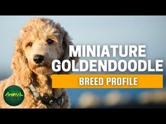 8 Things to Know About the Miniature Goldendoodle #miniaturegoldendoodle #cutepuppies #goldendoodle - DOGBEAST Miniature Goldendoodle Puppies, Shitzu Puppies, Mini Goldendoodle, Cute Puppies, Golden Retriever Poodle Mix, Family Friendly Dogs, The Perfect Dog, Guide Dog, Dog Activities