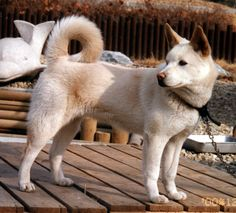 Pungsan - This North Korean dog is rarely observed outside the country. Its thick fur makes it resistant to the cold winters, especially up in the mountains where it has been used for hunting Siberian tigers. Horses And Dogs, Dogs And Puppies, Spitz Type Dogs, Unusual Dog Breeds, Pets 3, Types Of Dogs, Puppy Breeds, Hunting Dogs, Family Dogs