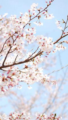 Cherry blossom wallpaper the cherry blossoms in spring 5 cherry blossom live wallpaper iphone . Iphone 5 Wallpaper, New Wallpaper, Flower Wallpaper, Wallpaper Backgrounds, Cherry Blossom Wallpaper Iphone, Flowers Nature, Beautiful Flowers, Cherry Blossom Background, Cherry Blossoms