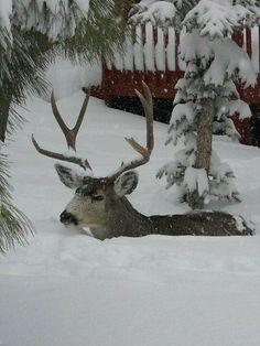 Deep snow, near Denver photo via Julie Connolly In Roxborough Park. The snow. The deer. Winter Szenen, I Love Winter, Winter Magic, Winter Storm, Winter White, Maine Winter, Snow White, Especie Animal, Mundo Animal