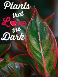 Indoor Plants That Love The Dark (My-FavThings) Low-light plants are usually defined as those that can survive in 25 to 75 foot candles – that is, a spot that is 4 to 5 meters from a bright window, just enough light to read by comfortably.