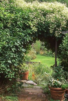 fast growing flowering vines sweet autumn clematis