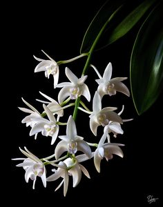 Little White Orchids Photograph by Endre Balogh