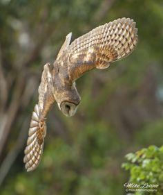 Source: Flickr / mikesphotoart  #barn owl