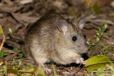 Bush Rat(Rattus fuscipes) photographed by Bruce Thomson at Bunya Mountains National Park, Queensland, Australia on 29th September 2005