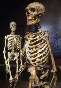 """""""First draft of Neanderthal genome revealed. 63 percent of genetic code deciphered; could show why humans won out.""""  This is a very good summary of what the Neanderthal genome reveals, what it doesn't, what they hope for still.  Pictured: """"A reconstructed Neanderthal skeleton, right, and a modern human version of a skeleton are on display at the Museum of Natural History in New York."""""""