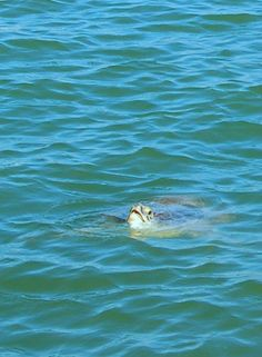 sea turtle TX  gulf coast