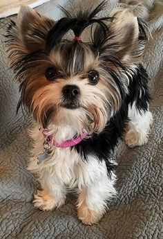 Yorkies, Biewer Yorkie, Yorkie Puppy, Puppy Husky, Labradoodle Puppies, Cavapoo Puppies, Tiny Puppies, Cute Puppies, Cute Dogs