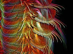 Appendages of a common brine shrimp