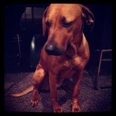 Mini, rhodesian ridgeback, after stealing a loaf of bread