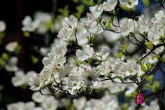 Dogwood Blooms #photography #card #print #canvas #nature  #tree #dogwood
