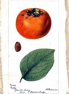 Botanical – Fruit – Persimmon