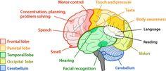 brain parts and functions chart for kids - Google pretraživanje