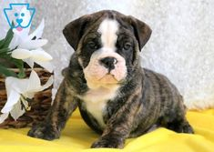The very first bulldogs are explained to be big and effective enough to manage bulls, hence the dog type's name. Some were likewise utilized in the sport of bull baiting. Little Puppies, Baby Puppies, Cute Puppies, Cute Dogs, Dogs And Puppies, Bulldog Puppies For Sale, English Bulldog Puppies, Puppy Care, Pet Puppy