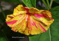 Bicolors Mix four o'clock seeds - Garden Seeds - Perennial Seeds